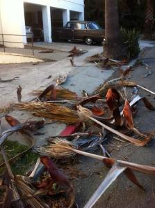 """A woman clearing the heavy, thorny palm fronds out of her yard on Ninth Avenue said the city was not coming to clean up the storm debris, which was heaped along asphalt and sidewalk for several blocks beneath the tall trees. """"They told us they aren't coming,"""" she said. """"No money."""""""