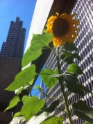 Embarcadero center sunflower