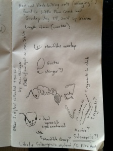 My notes and sketches after examining the ants under our microscope.
