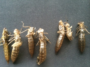 The cast off exuviae of darner dragonflies, collected near the Lake Merritt estuary.