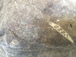 Some gastropod fossils in the rocks in Little Pine Creek's dry bed.