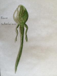 Rana catesbeiana
