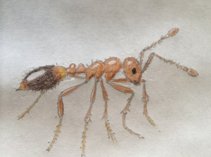 A colored illustration I made of one ant.