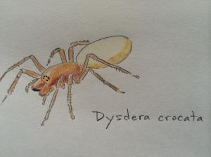 Dysderid spider