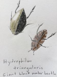 Giant water beetles
