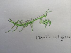 Mantis juvenile