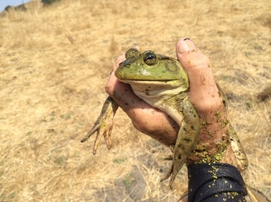 The American bullfrog, Rana catesbeiana, looks quite different.