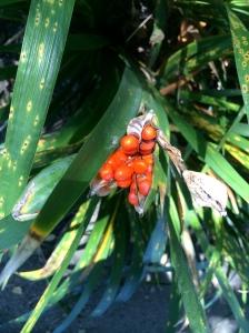 Red berries peeking