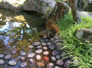 Fox squirrel gets a drink.