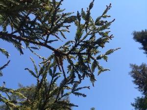 Redwood.