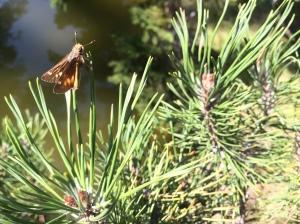 A skipper type butterfly.