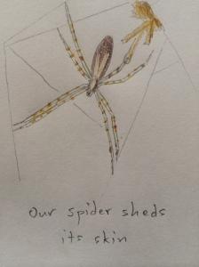 Spider moult