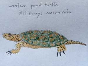 W pond turtle