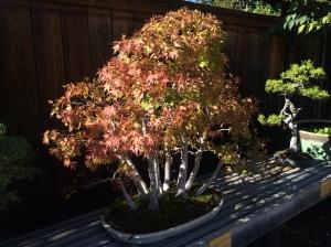 Acer palmatum, a Japanese maple.
