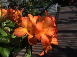 Orange blooms 1
