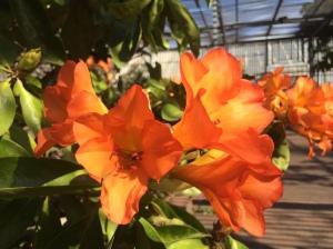Orange blooms 2