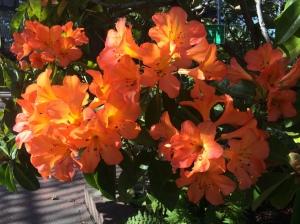 Orange blooms 3