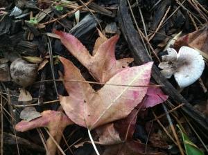 In Liquidambar leaves