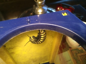 Our largest caterpillar curled up at the top of its little cage.