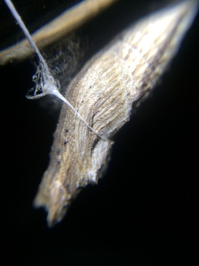 A close up of the chrysalis tied to my lamp.