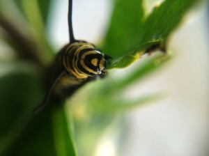 Salad, anyone? Our Monarch caterpillars never stop eating, and they've tripled in size in a week.