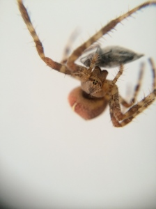 Our Cross Orb Weaver caught a fly for her dinner.