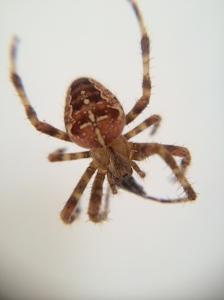 Araneus diadematus 3
