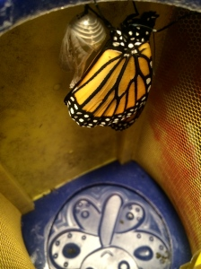 After splitting the shell of its chrysalis, the butterfly extended and expanded his wings.