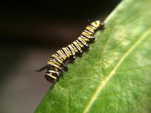 One of Kieran's Monarch caterpillars, happily munching milkweed.