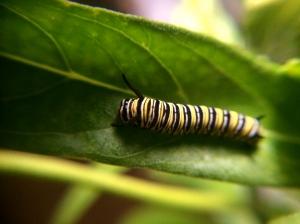 Another Monarch caterpillar.