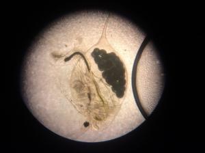 A Daphnia-type water flea seen through our microscope.