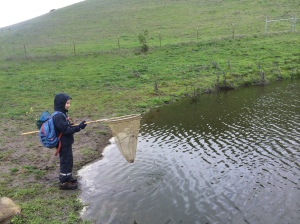 There were so many newts it was easy to catch three or four in a single swipe of the net.