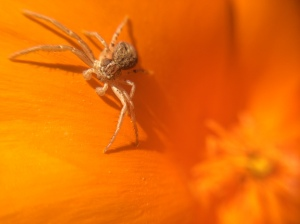 A crab spider perched on a poppy petal.