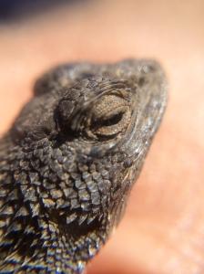 A western fence lizard.