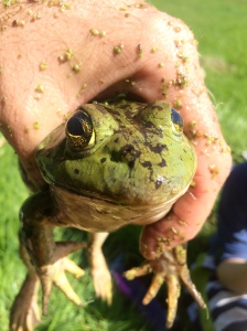 A medium sized frog from the second pond.