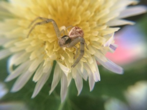 This female waited patiently on a yellow thistle bloom.