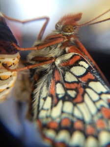 The new checkerspot just emerged from its chrysalis.