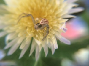 The long, sensory hairs called setae are visible on the spider's legs. Crab spiders have very long front legs for capturing their prey.