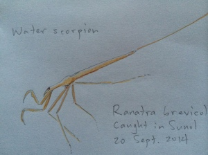 I sketched the aquatic insect after we first found it.