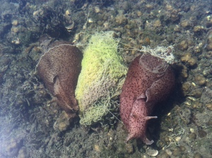 Two sea hares with their tangled string egg mass.