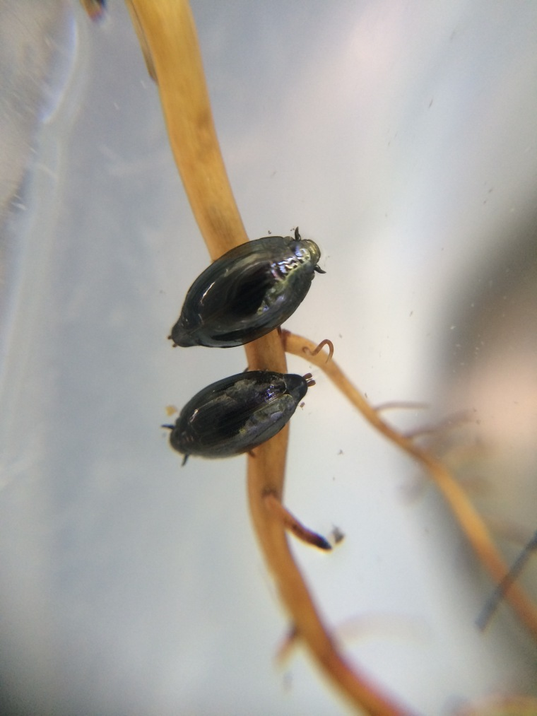 whirligig beetles, sunol, alameda creek