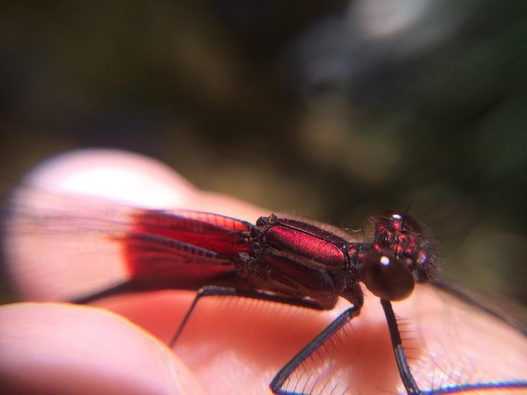 damselfly, hetaerina americana, sunol, alameda creek