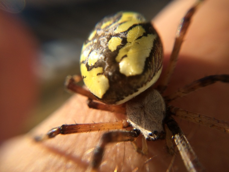 Argiope cephalothorax