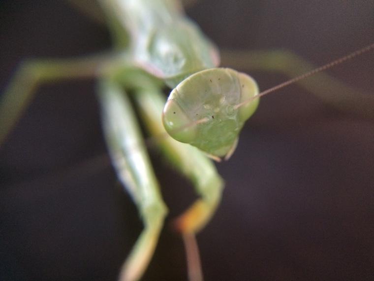 Mantis religiosa antennae face
