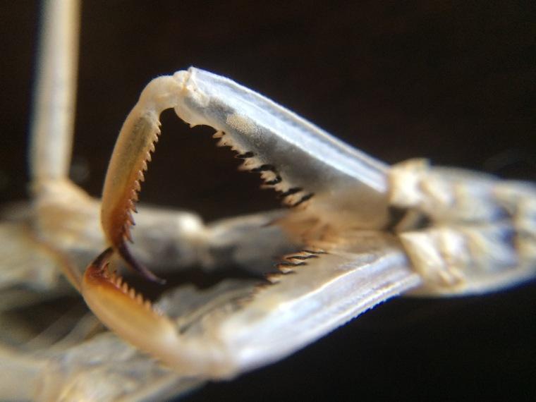 Mantis religiosa ecdysis
