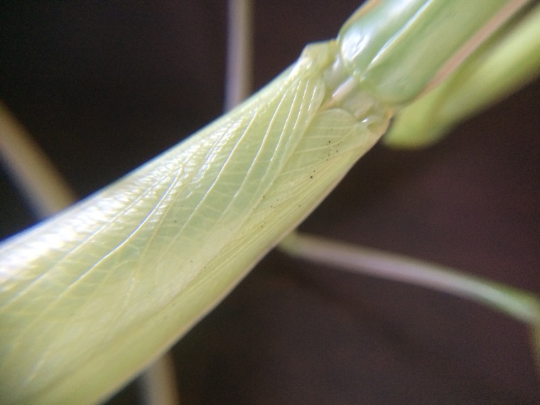 Mantis religiosa wings