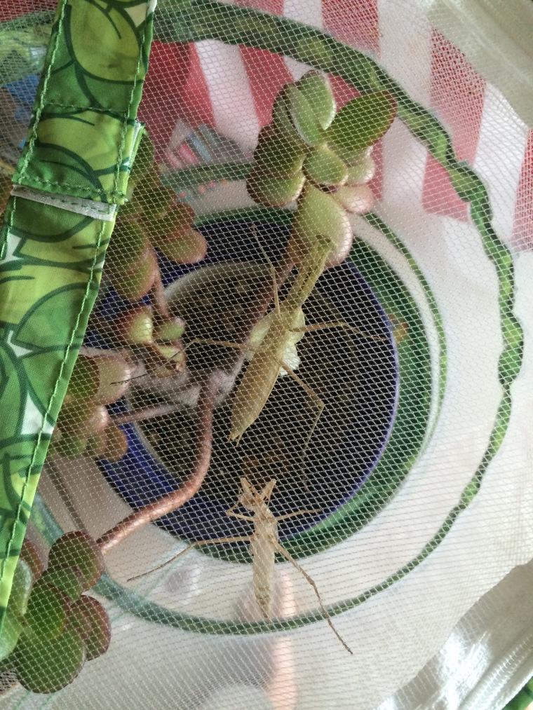 Mantis religiosa molting