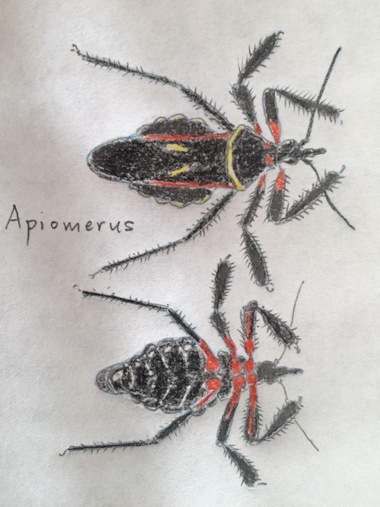 Apiomerus species, sketch