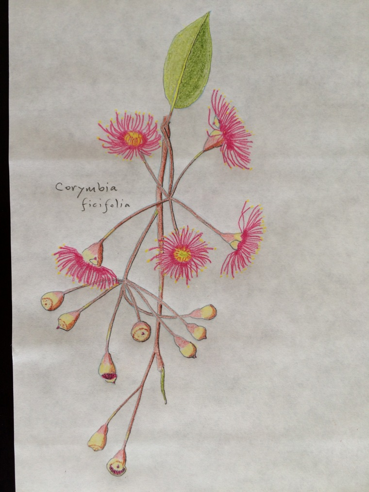 Corymbia drawing done