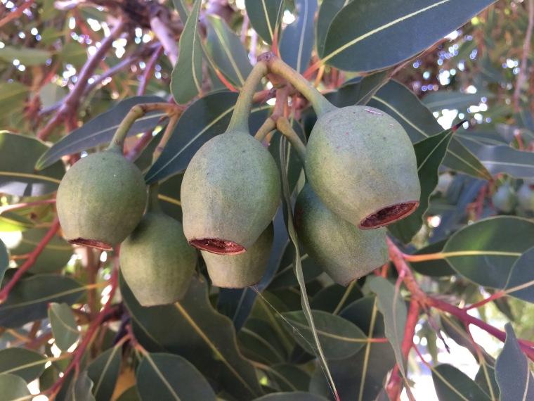 Corymbia fruit